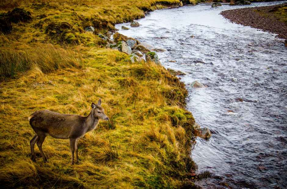 brown deer standing on grass beside river during daytime